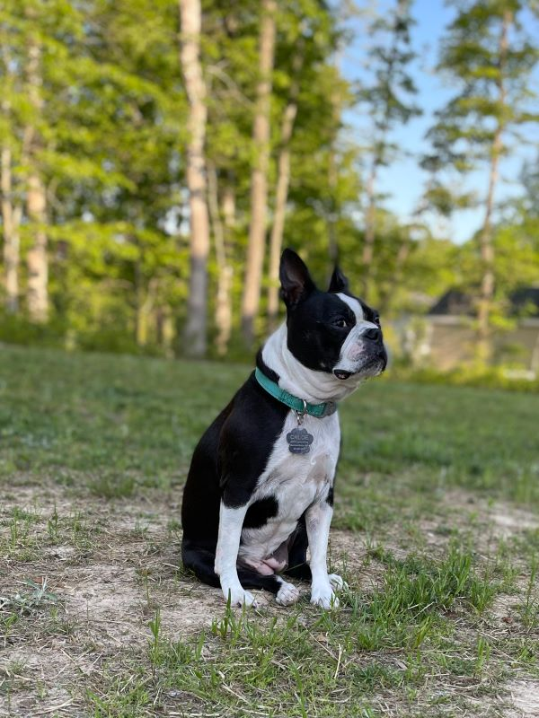 Boston Terriers 1.jpeg